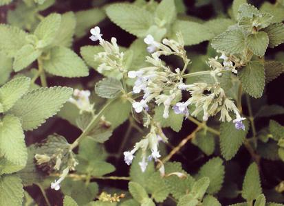 nepeta cataria唇形科荆芥属图片